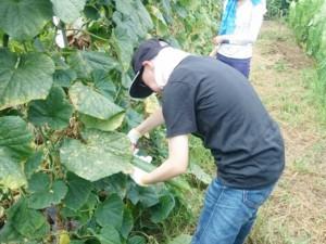 農作業(キュウリの収穫)